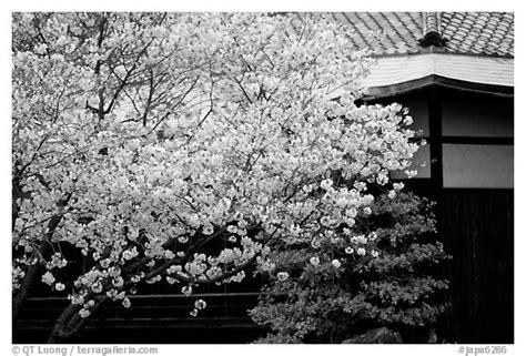 black  white picturephoto sakura cherry blossoms
