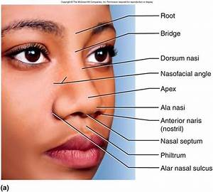 External Nose Anatomy Diagram