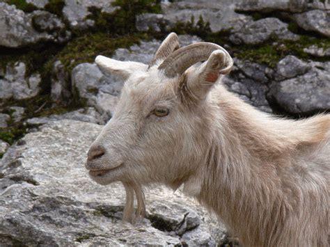 Welches Tier Liefert Die Hochwertige Kaschmirwolle by Kaschmir Kaschmirwolle Kaschmirziege Edelziege Wo Lebt Sie