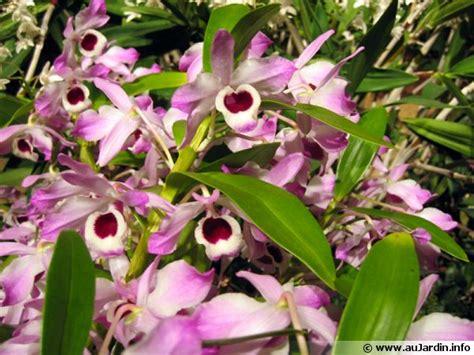 cuisiner des gateaux orchidée bambou dendrobium nobilé dendrobium nobile