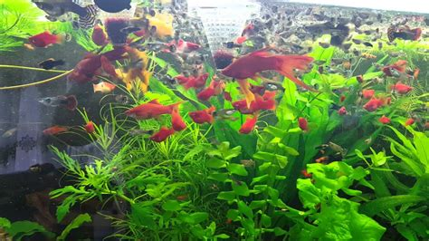 aquarium pflanzen düngen aquarium pflanzen