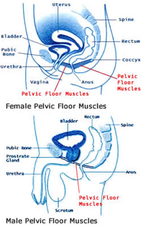 pelvic floor muscles images the pelvic floor