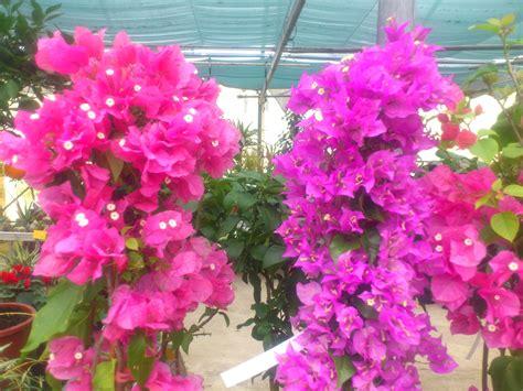 bougainvilliers pot 3l 9 jardinerie p 233 pini 232 re 31270
