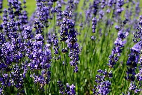 growing lavender how to grow lavender start to finish garden home farm pinterest