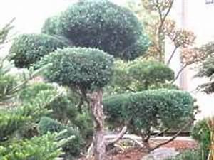 Bäume Schneiden Wann : pflege konifere schneiden hecken nadel b ume schneiden ~ Lizthompson.info Haus und Dekorationen