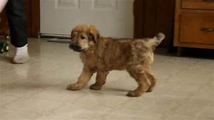 Shepadoodle Puppy For Sale - YouTube