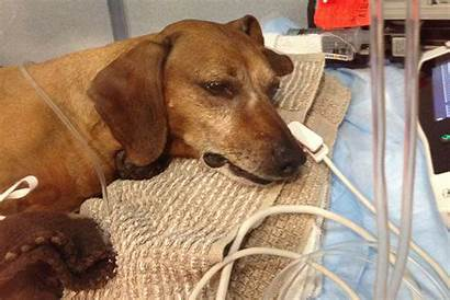 Dog Dogs Chocolate Poison Pet Toxins Poisoned