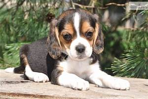 Beagle Full Grown Weight | www.imgkid.com - The Image Kid ...