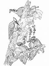 Coloring Woodpecker Birds Woodpeckers Colors Recommended sketch template