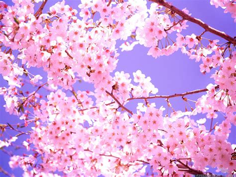 Bring the nature to your screen. Pink Cherry Blossom Wallpaper (62+ images)