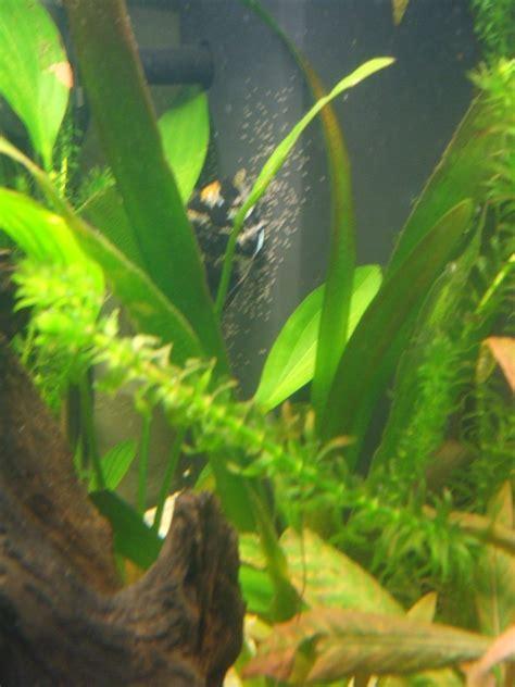 oeuf de poisson d aquarium des oeufs de dans mon aquarium