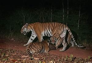Filhotes de tigre encontrados em parque na Tailândia