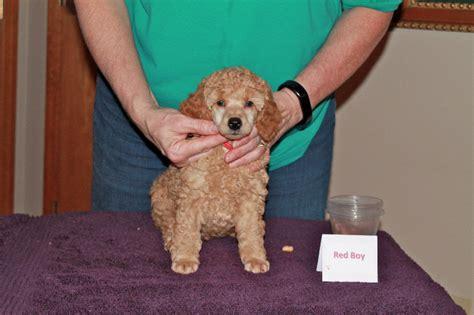 week  mini poodle  nashville anutta blog