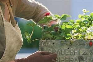 Ab Wann Erdbeeren Pflanzen : nutzgarten archive mxliving ~ Eleganceandgraceweddings.com Haus und Dekorationen