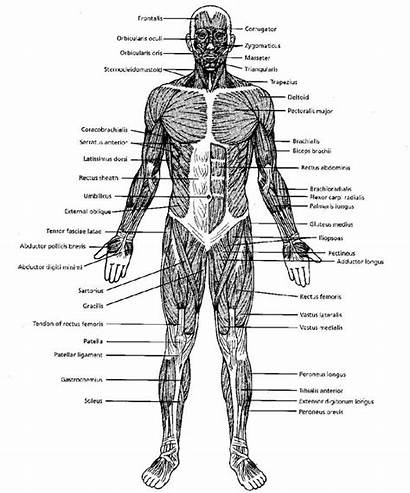 Muscle Diagram Blank Worksheet Muscles Muscular System