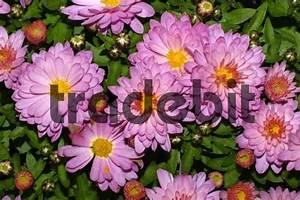 Dendranthema Hybride Balkon : flowering chrysanthemum chrysanthemum indicum hybrid ~ Lizthompson.info Haus und Dekorationen
