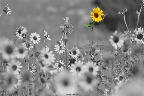 flower photography sunflower photography black  white