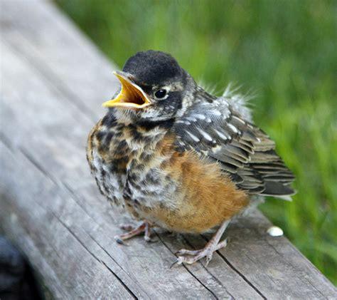 baby robin flickr photo sharing