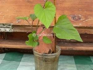 Patate Douce Plante : planter une patate douce ~ Dode.kayakingforconservation.com Idées de Décoration