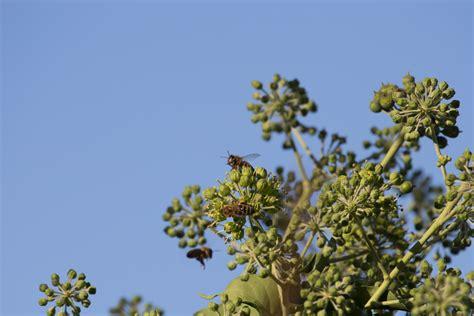 efeu mit blüten efeu biene und honig de
