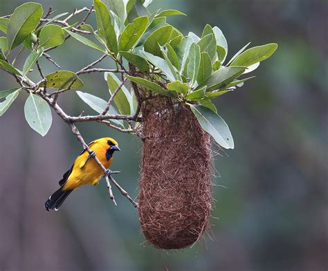 yellow oriole at the nest colorful birds birds