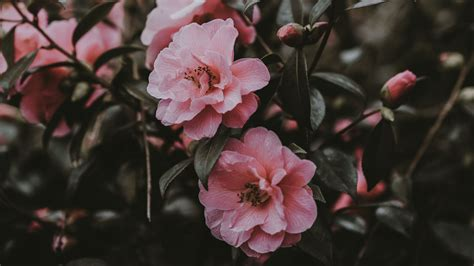 pink flowers aesthetic laptop wallpapers