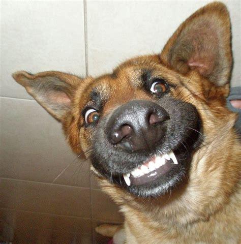 razones   tener  perro pastor aleman en casa