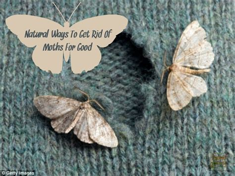 Natural Ways To Get Rid Of Moths For Good by Hybrid Rasta Mama