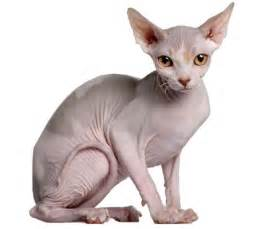 bald cats the sphynx cat cat breeds encyclopedia