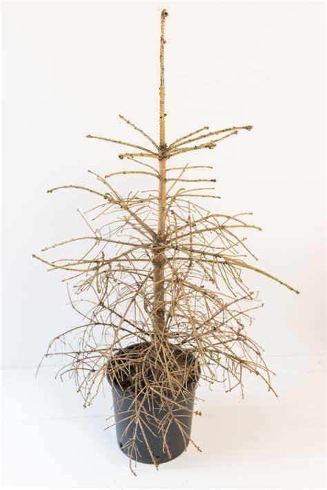 Weihnachtsbaum Ohne Nadeln armer kleiner tannenbaum ein wintergedicht leelah