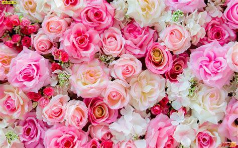 ภาพพื้นหลังดอกกุหลาบสีชมพูอ่อน ภาพดอกไม้ พื้นหลังดอกไม้