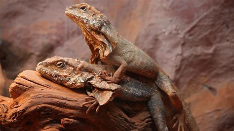 Two Frilled-neck Lizards Mating, Frilled Dragon, Animals