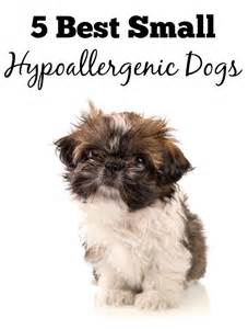 5 best small hypoallergenic dogs dogvills