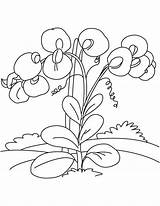 Pea Sweet Coloring Pages Flowers Drawing Flower Princess Vines Realistic Plants Printable Getdrawings Leave Adults Print Colorings Getcolorings sketch template