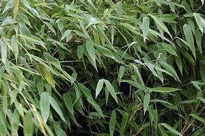 Bambus Pflege Zimmerpflanze : bambus pflege alles worauf sie achten m ssen ~ Frokenaadalensverden.com Haus und Dekorationen
