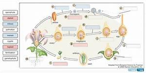 Solved  Alternation Of Generations In Angiosperms The Diag