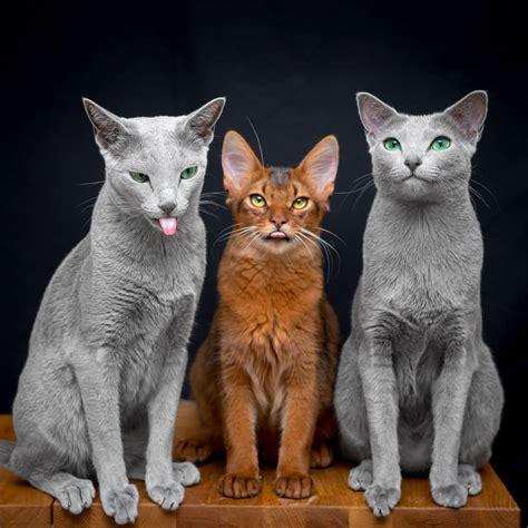 xafi  auri   russian blue cat sisters
