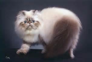 Himalayan Siamese Cat