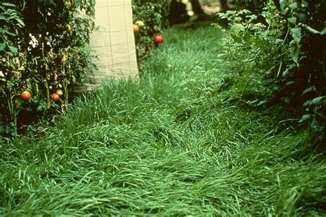 Nematode In Home Garden garden nematodes with cereal elbon rye