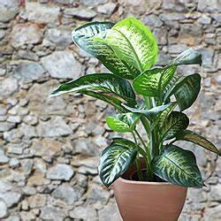 Zimmerpflanzen Für Schatten : giftige zimmerpflanzen ~ Michelbontemps.com Haus und Dekorationen
