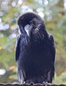 Was Fressen Raben Gerne : your daily raven via wendy davis facebook ravens and ~ Lizthompson.info Haus und Dekorationen