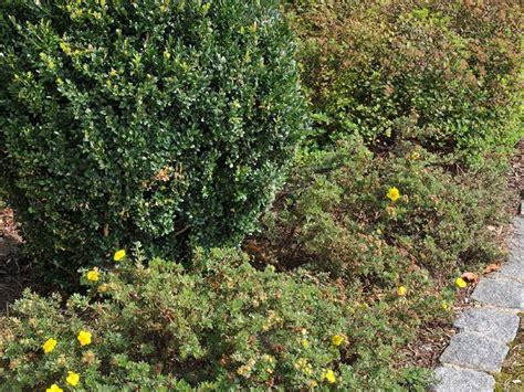 bodendecker gelb blühend bodendecker