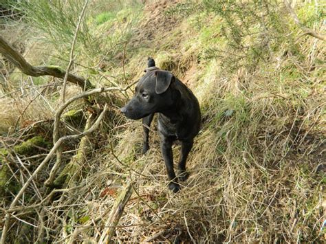 Patterdale Terrier Free Stock P O Public Domain Pictures