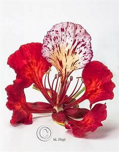 delonix regia flower - Cerca amb Google | organic ...