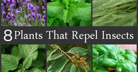 what of plants repel mosquitoes repel mosquitoes naturally with these 8 plants