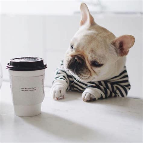 french bulldog names ideas  pinterest french