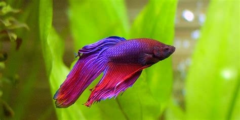 beta fish ich disease on betta fish fins exotic tropical fish photography download high resolution