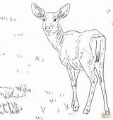 Deer Coloring Mule Whitetail Female Drawing Tailed Fallow Outline Printable Tail Getdrawings Supercoloring Popular Coloringhome sketch template