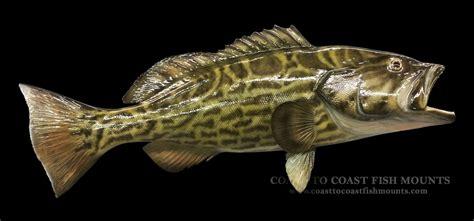 grouper gag fish replica mount