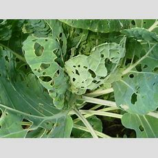Common Garden Pests  Gardeners Tips